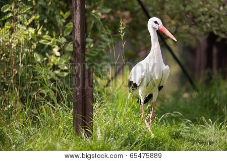 White Stork (Ciconia ciconia) hunting