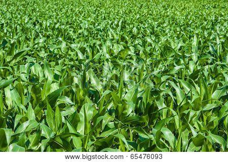 Green Cornfield Under The Sun