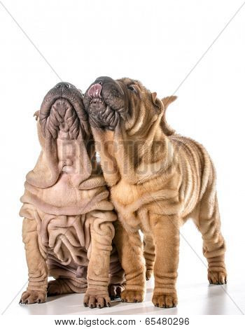 two chinese shar pei puppies looking up isolated on white background - 4 months old