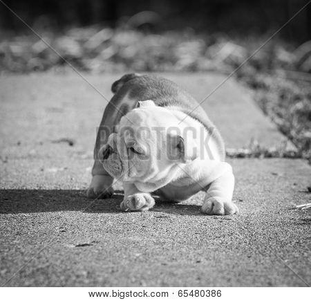 english bulldog puppy playing outside