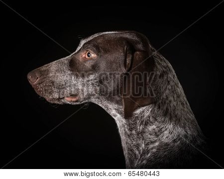 german shorthaired pointer head profile on black background
