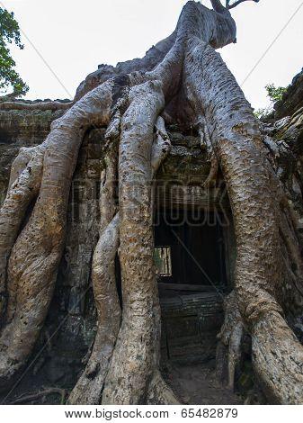 Prasat Ta Prum. Roots.