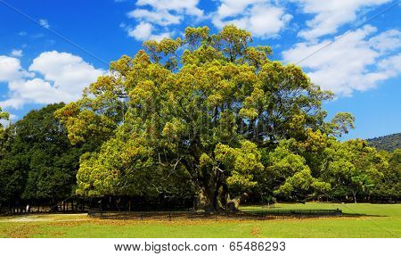 casuarina tree and green earth , blue sky