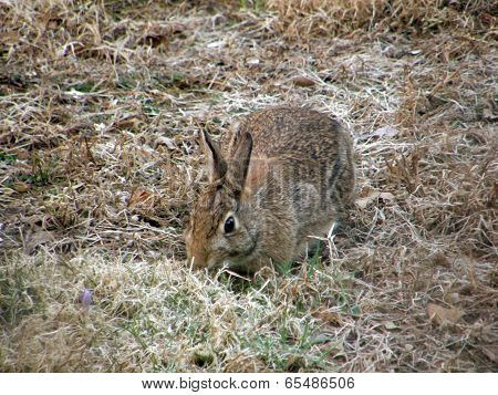 Adult New England Cottontail