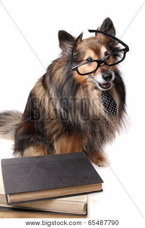 Studious Sheltie Dog