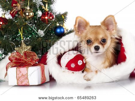 Chihuahua in Santa hats