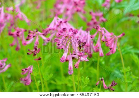 Flowers Of Birthwort (corydalis Buschii)
