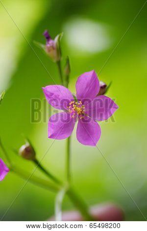 Ceylon Spinach Pink Flower