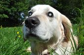 foto of cataracts  - Old blind Labrador dog with cloudy eyes caused by cataracts in both eyes - JPG