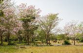 stock photo of lapacho  - Hourses In Green Field With Pink Trumpet Blossom - JPG