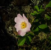 pic of wild-brier  - brier flowers on dark background spring season - JPG