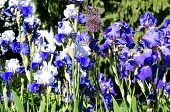 picture of gladiola  - Blue gladiolas in a bed in the park - JPG