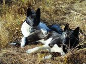 picture of laika  - Two hunting laikas resting on yellow grass - JPG
