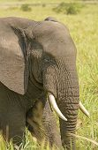 picture of bull head  - Closeup of an African Elephant Head in Uganda - JPG
