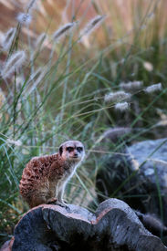 image of hollow log  - A Meerkat sitting on top of a hollowed - JPG