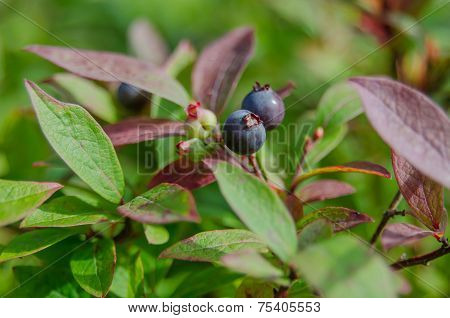 Wild Blueberries On Bush