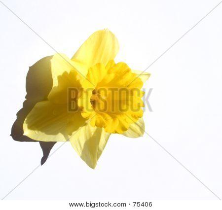 Narcissus.....(2)