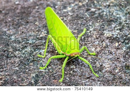 grasshopper macro on stone