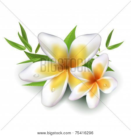 Dewy Frangipani Flowers With Leafs