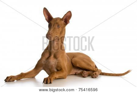 pharoah hound puppy laying down on white background