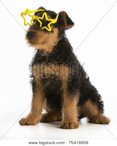 cute airedale terrier puppy wearing star shaped glasses sitting on white background