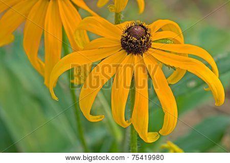 The black chrysanthemum