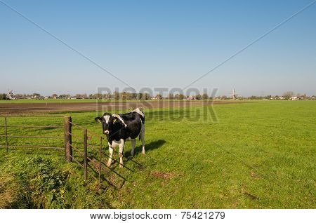 Black And White Cow At A Rusty Gate
