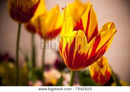 Red And Yellow Tulips.