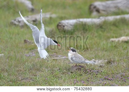 Arctic Tern feeding chick