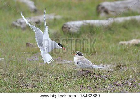 Arctic Tern feeding chick