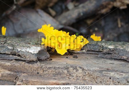 Craterellus Aureus Berk.et Curt. Growing On Rotten Wood
