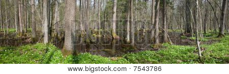Alder-carr Stand In Springtime With Water And Anemone Flowering