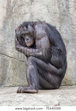 Adult Bonobo In Sitting Fetal Position