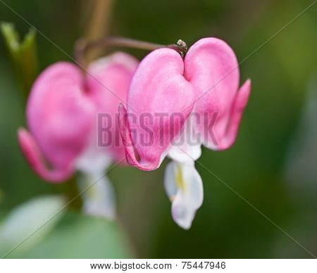 Bleeding Heart Flowers (Dicentra)