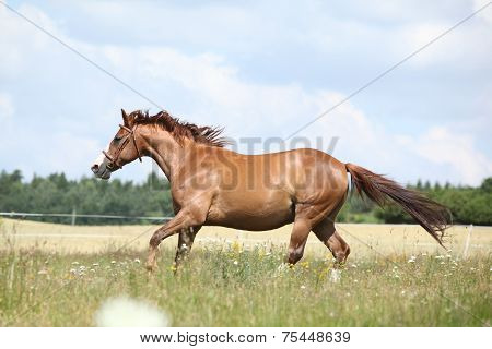 Amazing Chestnut Horse Running On Meadow