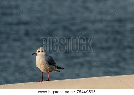 Seagull Close-up At Sunset