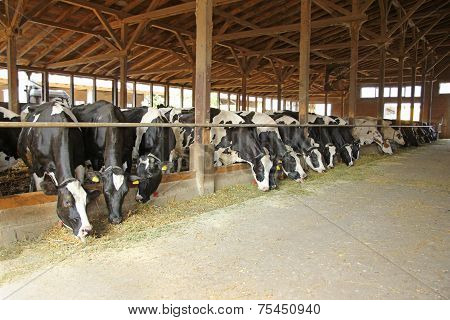 Cows in a farm cowshed