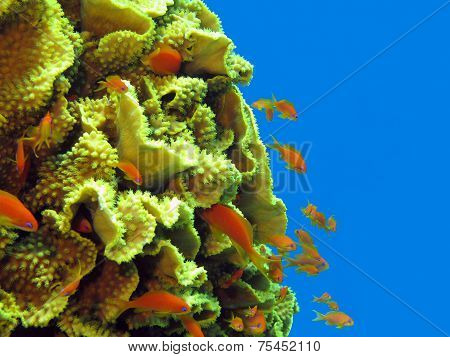 coral reef with great yellow coral Turbinaria reniformis with exotic fishes anthias in tropical  sea