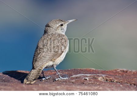 Profile Of A Rock Wren