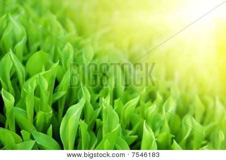 Fresh Spring Green Grass In Shine Sunlight