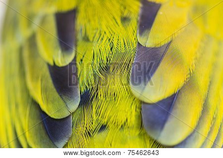 Feather Of Black-headed Bulbu