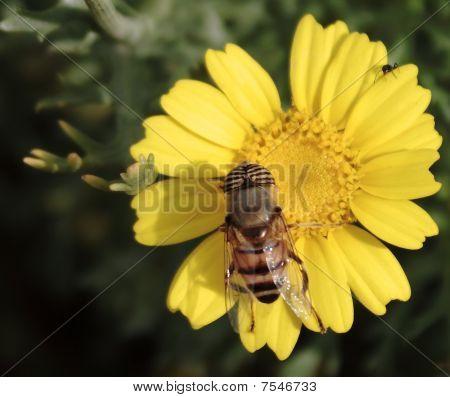 Contra Costa goldfields flower