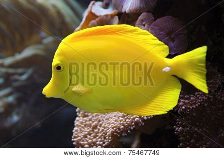 Yellow Tang Fish (zebrasoma Flavescens)