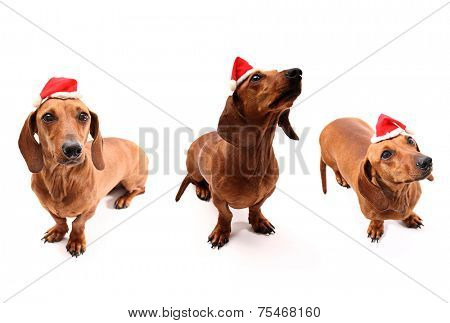 Dachshund set for Christmas time on white background