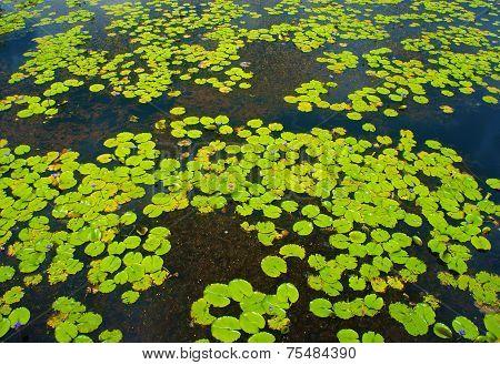 Beautiful Vietnam Lake, Amazing Water Lilly