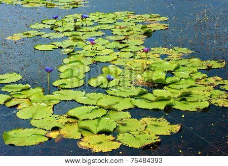 Beautiful Vietnam Lake, Amazing Water Lilly