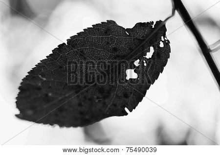 broken leaf with holes in black and white
