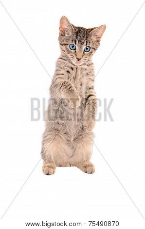 Standing Tabby Tongue Out
