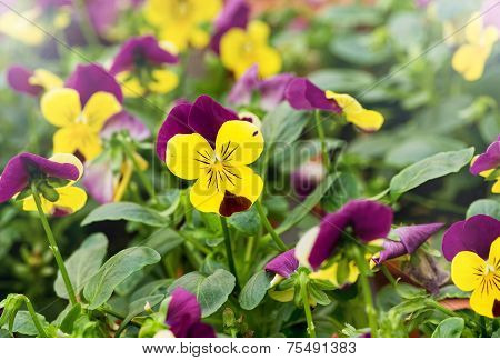Colorful Yellow Violets