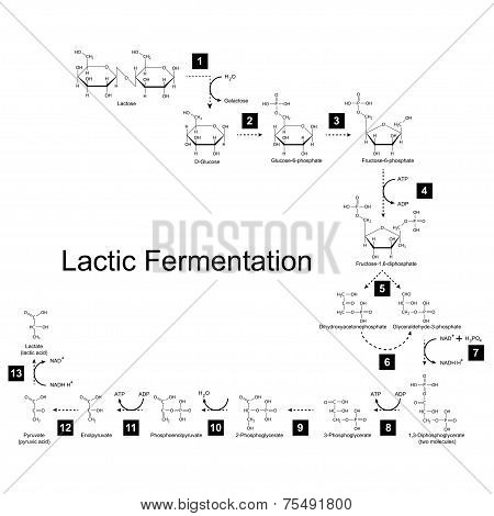 Chemical Scheme Of Lactic Fermentation Metabolic Pathway